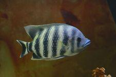 Big Tropical Fish In Aquarium Stock Images