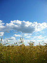 Free Wheats  Field Royalty Free Stock Image - 6170276