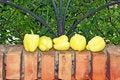 Free Yellow Paprika On Brick Fence Stock Images - 6170834