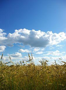 Free Wheats  Field Royalty Free Stock Image - 6170276