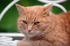Free Red Green-eyed Cat Stock Photography - 6170952