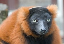 Red Lemur Stock Images