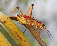 Free Large Grasshopper Stock Photos - 6173213