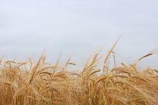 Free Gold Barley Royalty Free Stock Photography - 6174767