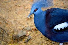 Free Helmeted Guineafowl Royalty Free Stock Images - 6174819