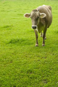 Free Dairy Cow In A Green Pasture Royalty Free Stock Photo - 6174935