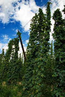 Free Hops Farm 28 Stock Photos - 6174953