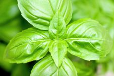 Free Basil Leaves Royalty Free Stock Photography - 6177067