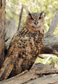 TRUE OWL Stock Image