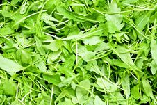 Free Rucola Royalty Free Stock Photos - 6177508
