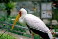 Free Yellow Billed Stork Resting Stock Images - 6180214