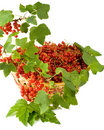 Free Red Currant Stock Photography - 6189802