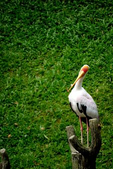 Free Yellow Billed Stork Standing Royalty Free Stock Photo - 6180155