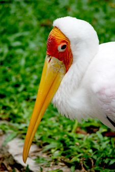 Free Yellow Billed Stork Royalty Free Stock Image - 6180186