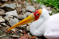 Free Yellow Billed Stork Sitting Royalty Free Stock Photos - 6180188
