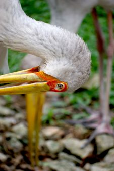 Free Yellow Billed Stork  T  Royalty Free Stock Image - 6180216