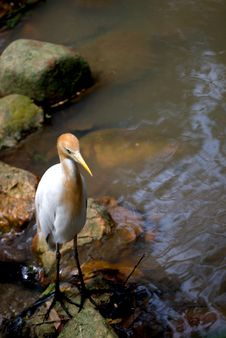Free Cattle Egret At River Stock Images - 6180254