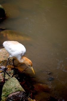 Cattle Egret Looking For Food Royalty Free Stock Images