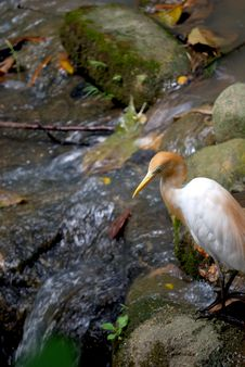 Cattle Egret Looking At Water Stock Image