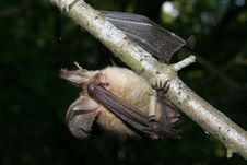 Free Bat On A Branch Royalty Free Stock Photos - 6180478
