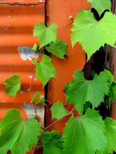 Green Vines - Vertical Stock Photos