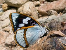 Free Butterfly (Apatura Schrenski) 2 Royalty Free Stock Images - 6182329