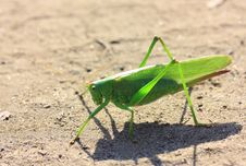 Free Green Locust Royalty Free Stock Images - 6182989