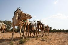 Free Camels Stock Photo - 6183120