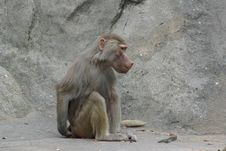 Free Monkey Between The Rocks Royalty Free Stock Image - 6185146