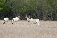 Free Antelopes Grazing In A Field Stock Photo - 6185450