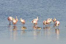 Free Roseate Spoonbills Preening Royalty Free Stock Photography - 6185697