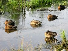 Free Sleeping Ducks In Brook Royalty Free Stock Image - 6185956