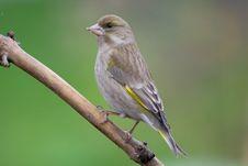 Greenfinch (Carduelis Chloris) Royalty Free Stock Images