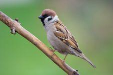 Free Bird - Tree Sparrow Stock Photography - 6186362
