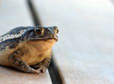 Free Bull Frog Stock Image - 6187541