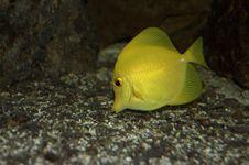 Free Yellow Sailfin Tang Stock Image - 6187681