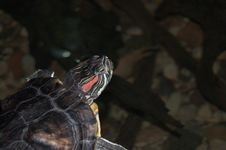 Turtle In Water Stock Photography