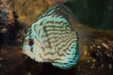 Discus In Aquarium Royalty Free Stock Photography