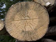 Free Tree Cross Section Royalty Free Stock Photo - 6188515