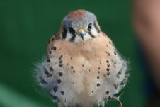 Free American Kestrel Apollo Royalty Free Stock Images - 6189039