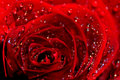 Free Red Rose Stock Photo - 6190210