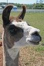 Free Llama Head Closeup Stock Photography - 6197412