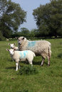 Free Sheep Family In Field Royalty Free Stock Photo - 6199625