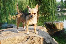 Free A Lovely Little Chihuahua Dog Royalty Free Stock Image - 6190106