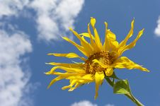 Free The Sunflower Stock Image - 6190421