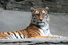 Free Tiger Royalty Free Stock Photos - 6190808
