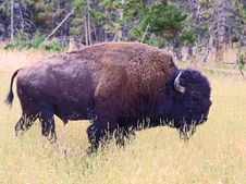 The Bison In The Yellowstone Stock Images