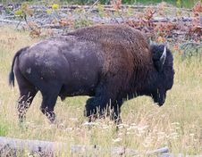 The Bison In The Yellowstone Royalty Free Stock Photos