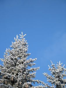 Free Frosted Conifer Stock Images - 6191614