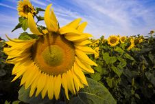 Free Sunflower1 Royalty Free Stock Images - 6191749